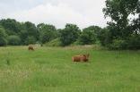 Die Kühe sind einzeln an Pflöcken angebunden.