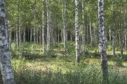 Schwedische Wälder